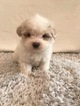 Maltipoo Puppy For Sale in HAMPSHIRE, IL