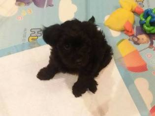 yorkie mixed puppies for sale mn view ad poodle toy yorkshire terrier mix puppy for sale 4474