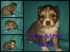 Miniature Australian Shepherd Puppy For Sale in HOISINGTON, KS