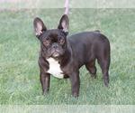 French Bulldog Puppy For Sale near 85225, Chandler, AZ, USA