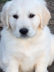 Stunning AKC English Cream Retriever puppy