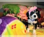 Puppy 7 Australian Shepherd-Cavalier King Charles Spaniel Mix