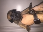 Mastiff Puppy For Sale in SAN PABLO, CA