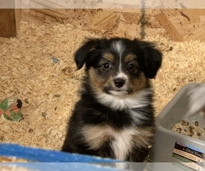Miniature Australian Shepherd Puppy for Sale in WHITE SALMON, Washington USA