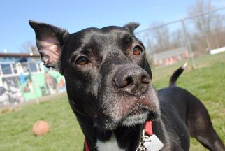 Tippi - Adoption Sponsered - Labrador Retriever / Pit Bull Terrier / Mixed Dog For Adoption