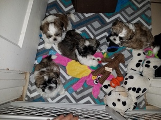 Shih Tzu Puppy For Sale in SAINT PETERSBURG, FL