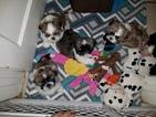 Shih Tzu Puppy For Sale in SAINT PETERSBURG, FL