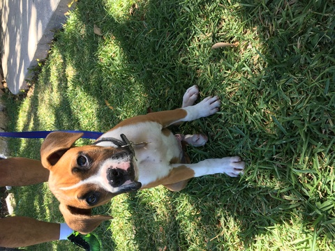 View Ad: Boxer Puppy for Sale near Philippines