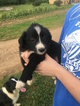 Border Collie Puppy For Sale in JACKSON, KY,