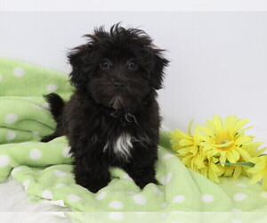 Havanese-Poodle (Toy) Mix Puppy for sale in SHILOH, OH, USA