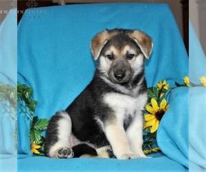German Shepherd Dog Puppy for sale in PORT DEPOSIT, MD, USA