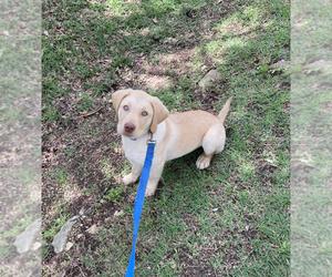 Labrador Retriever Puppy for sale in AUSTIN, TX, USA