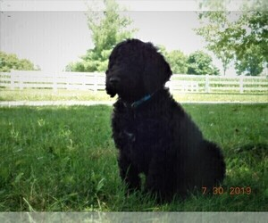Poodle (Standard) Puppy for sale in CHURUBUSCO, IN, USA