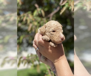Bernedoodle Puppy for Sale in GREAT FALLS, Montana USA