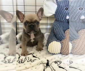 French Bulldog Puppy for sale in LAKE ELSINORE, CA, USA