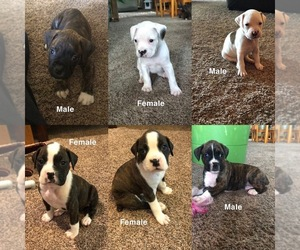 Boxer Puppy for sale in OMAHA, NE, USA