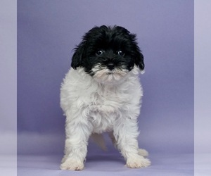 Shih Tzu-Yorkie-Poo Mix Puppy for Sale in WARSAW, Indiana USA