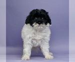 Puppy 1 Shih Tzu-Yorkie-Poo Mix