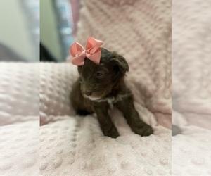 Old English Sheepdog-Poodle (Miniature) Mix Puppy for Sale in BUCKEYE, Arizona USA