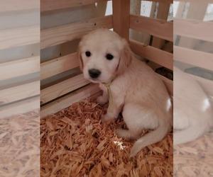 Golden Retriever Puppy for Sale in YUCAIPA, California USA