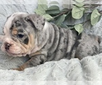Puppy 3 English Bulldog