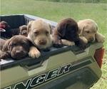 Small Photo #10 Labrador Retriever Puppy For Sale in AVA, MO, USA