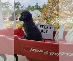 Goldendoodle Puppy for Sale in LADSON, South Carolina USA