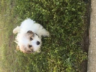 Cavachon Puppy For Sale in JACKSONVILLE, FL, USA