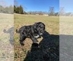 Small #15 Portuguese Water Dog