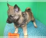 Puppy 2 Norwegian Elkhound
