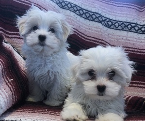 Maltese Puppy for sale in LOYAL, WI, USA