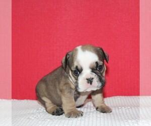 English Bulldog Puppy for sale in HIALEAH, FL, USA