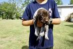 German Shorthaired Pointer Puppy For Sale in SHREVEPORT, LA, USA