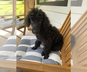 Poodle (Standard) Puppy for sale in MONTGOMERY, TX, USA
