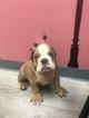 Bulldog Puppy For Sale near 02128, Boston, MA, USA