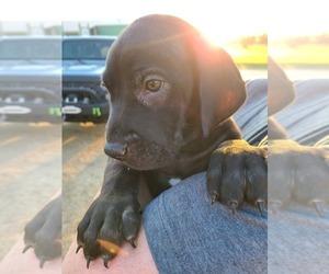 Great Dane Puppy for Sale in FAYETTEVILLE, Arkansas USA