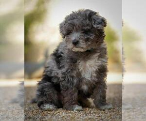 F2 Aussiedoodle Puppy for sale in SUISUN CITY, CA, USA
