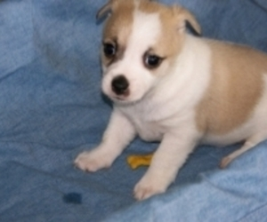 Affenpinscher Dog For Adoption in SAN FRANCISCO, CA, USA