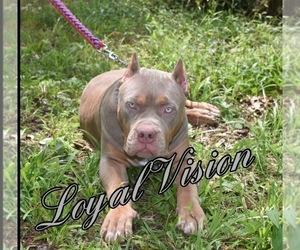 American Bully Puppy for sale in WINCHESTER, VA, USA