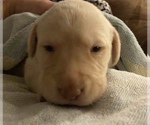 Labrador Retriever Puppy for Sale in CULLMAN, Alabama USA