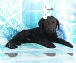 Small Photo #4 Labradoodle Puppy For Sale in EDEN, PA, USA