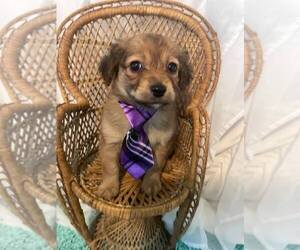 Poodle (Toy)-Yorkshire Terrier Mix Puppy for sale in MUSKEGON, MI, USA