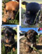 4 Adorable Chorkie Puppies