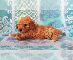 Small #2 Cavapoo