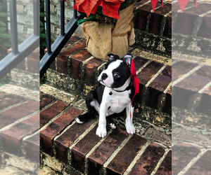 Boston Terrier Puppy for Sale in TRUSSVILLE, Alabama USA