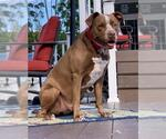 Small #74 American Pit Bull Terrier-German Shorthaired Pointer Mix