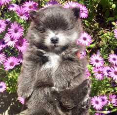 Pomeranian Puppy For Sale in LONG BEACH, CA