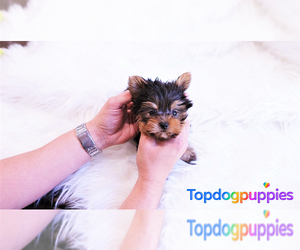 Yorkshire Terrier Puppy for sale in FULLERTON, CA, USA