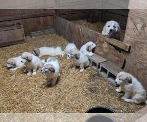 Great Pyrenees Puppy for sale in MOUNT ORAB, OH, USA