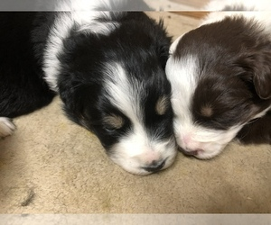 Australian Shepherd Puppy for sale in JASPER, TX, USA